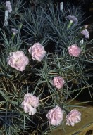 Dianthus, Inchmery