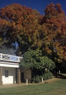 Monticello, Kitchen yard and sugar maple in fall