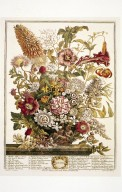 Furber's 12 Months of Flowers, August