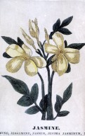 Jasminum officiale