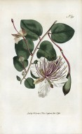 Caparis spinosa, or the Caper shrub, The Botanical Magazine; or Flower-garden displayed, plate 291