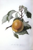 The Moor Park Apricot