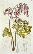 Dicentra eximia (Bleeding Heart)