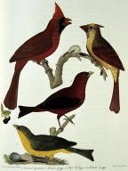 Cardinals, Red (scarlet) tanagers