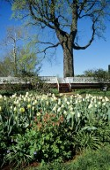 Monticello, West Lawn, Tulips