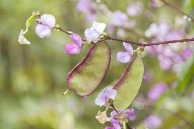Hyacinth Bean pods and flowers