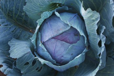 (Cabbage)
