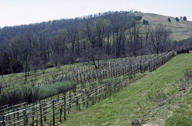 Monticello, Vineyard, with Montalto in background