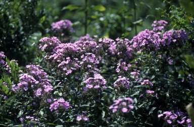 Perennial Phlox surviving in neglected garden