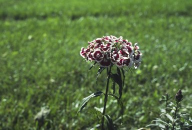 Dianthus, Painted Lady