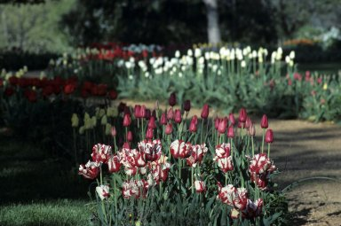 Monticello, Tulips and winding flower walk