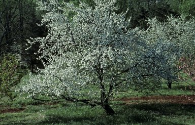 Monticello, orchard in spring, prunus