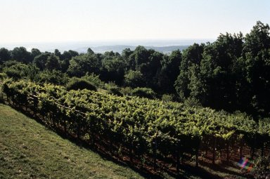 Monticello, Vineyard