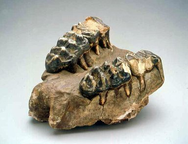 Mastadon upper jaw bone