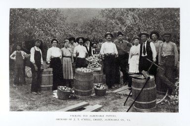 Harvest time at an Albemarle, or Newtown, Pippin orchard in Albemarle County, Virginia