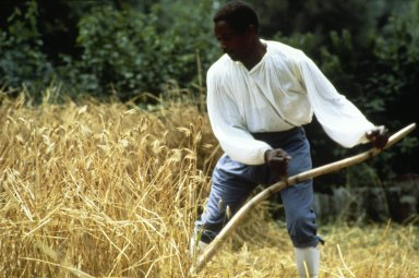 Scything wheat at Colonial Williamsburg (Mastroianno)