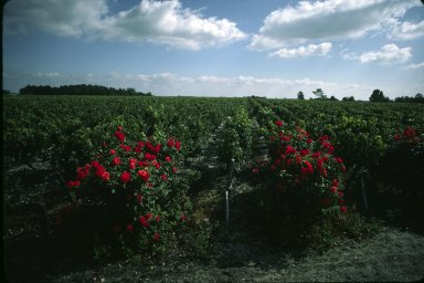Listrac, vines and roses