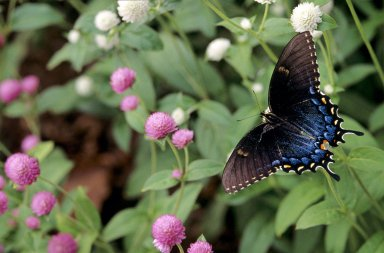 Monticello, Black Swallow Tail Butterfly