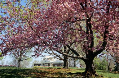Monticello, West Front with Blooming Japanese Cherry