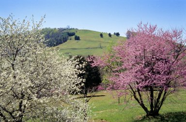 Montalto, with spring redbud