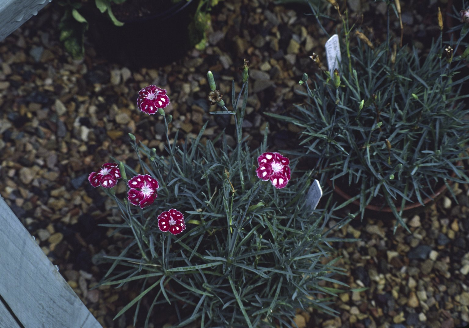 Dianthus, Laced Pink