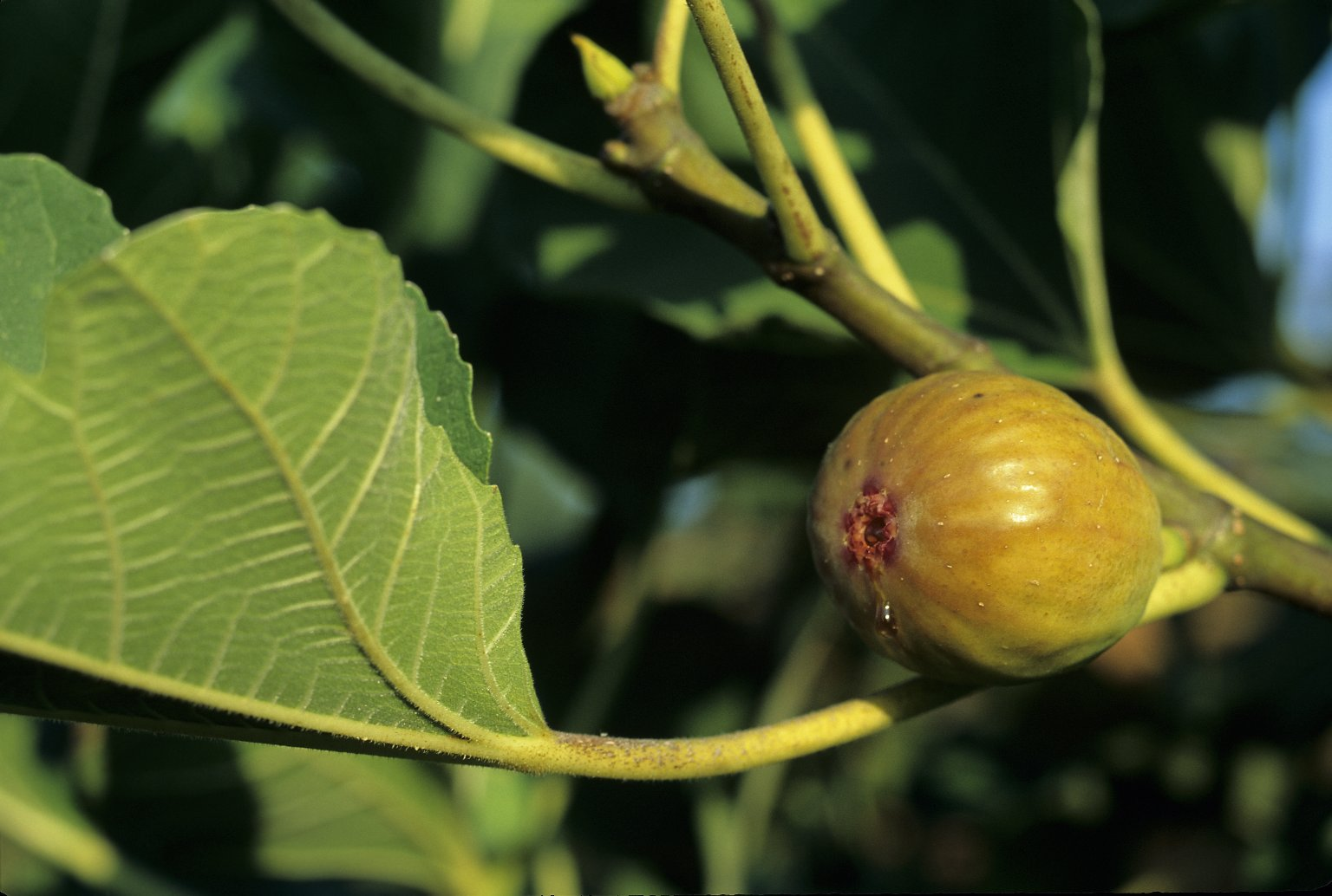 Fig, in south orchard at Monticello