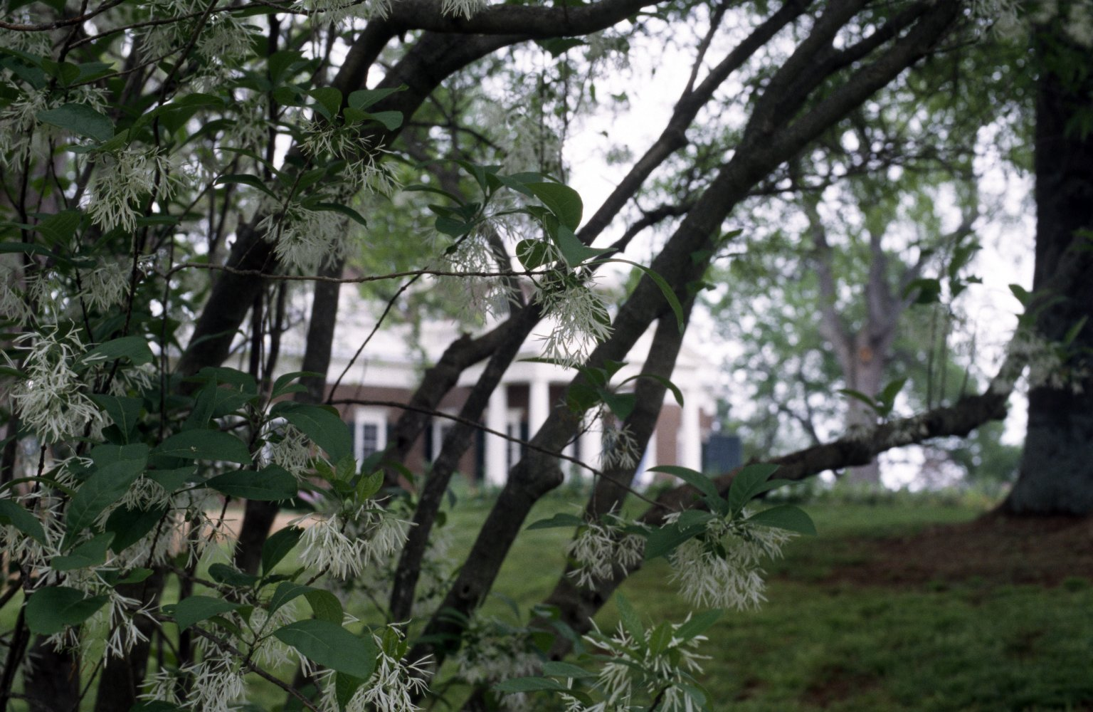 Monticello, West Front, from Fringe Tree